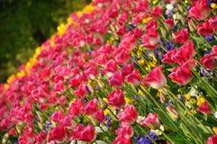 Rose blossing de belles tulipes colorées au printemps photos libres de droits