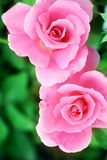 Rose blossom Royalty Free Stock Images