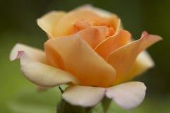 Rose Blossom Stock Image