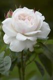 Rose Blossom Stock Photos