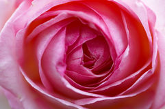 Rose Blossom Royalty Free Stock Image