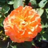 Rose Blossom alaranjada brilhante e corajosa Fotos de Stock Royalty Free