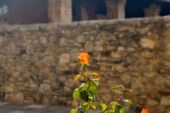 Rose Blossom and Ancient Wall Royalty Free Stock Images