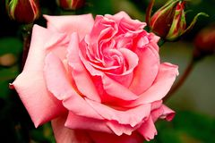Rose, Blossom, Bloom, Pink Stock Photos