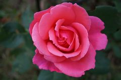Rose, Blossom, Bloom, Pink, Nature Royalty Free Stock Image