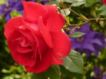 Rose, Blossom, Bloom, Red Rose Stock Image