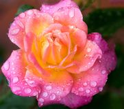 Rose blossom with gradient colors from yellow to pink royalty free stock images