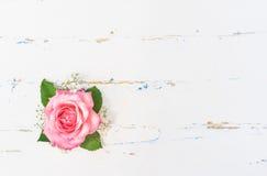 Rose Blossom rosada hermosa en el fondo blanco Imagen de archivo libre de regalías