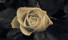 Rose is blossom Stock Photography