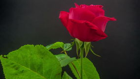 Rose blossoming stock footage