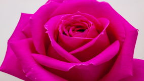 Rose blossoming stock video