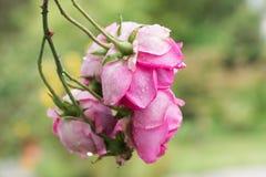 Rose Blossoms s'élevante rose Photos stock