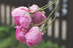 Rose Blossoms s'élevante rose Image libre de droits