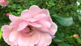 Rose Blowing rosada en el viento de la primavera almacen de metraje de vídeo