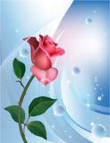Rose on blue. With water bubbles Stock Photos