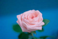 Rose on a blue background. Bokeh Stock Photos