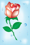 The Rose on blue background with drop rain.Vector Stock Photos