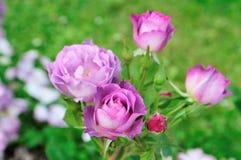 Rose Blue para você Fotografia de Stock