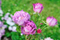 Rose Blue for you Stock Photography