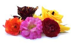 Rose-Blumen Stockfotos