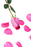 Rose, Blumenblatt von stieg Lizenzfreies Stockbild