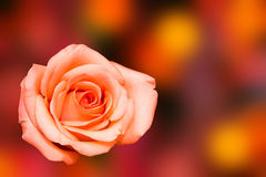 Rose with blur background Royalty Free Stock Photography