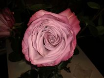 Rose. Bog pink rose Stock Photography