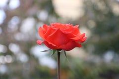 Rose boken Stock Photo