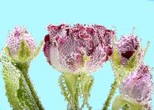 Rose bonita con las burbujas Foto de archivo