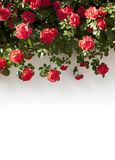 Rose Border. A garland of fresh roses royalty free stock images