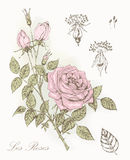 Rose botanical illustratoin Stock Photos