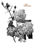 Rose, botanical vintage engraving. Vintage engraving of a beautiful rose plant with flowers, cultivated for beauty and fragrance Stock Photos