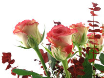 Rose bouquet. Isolated on a white background royalty free stock photos