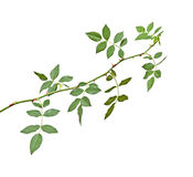 Rose branch. Isolated on white background stock photography