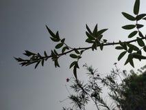 Rose Branch avec image naturelle de feuille la meilleure photographie stock