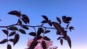 Rose branch and leaves WSAT2810. Close up low angle shot of Rose Branch with Leaves waving in the wind over clear blue sky with autumn tree background stock video footage