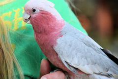 Rose Breasted Cockatoo, die an Hand stting ist Stockfoto