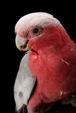 Rose-breasted Cockatoo, Galah. Stock Photo