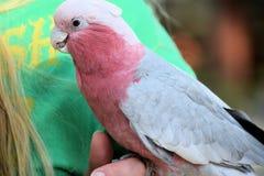 Rose Breasted Cockatoo-het stting op Hand stock foto