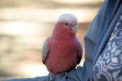 Rose Breasted Cockatoo-het stting op Wapen stock afbeelding