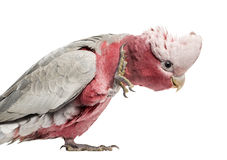 Rose-breasted Cockatoo (2 years old). Isolated on white Royalty Free Stock Images