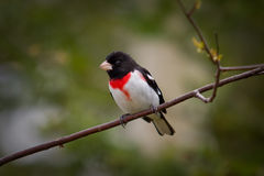 A Rose-Breasted Grosbeak. A stunning Rose-Breasted Grosbeak on a branch royalty free stock images