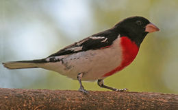 Rose Breasted Grosbeak. A Rose-breasted Grosbeak (Pheucticus ludovicianus) sitting on an old piece of wood Stock Image