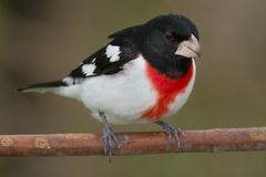 Free Rose-breasted Grosbeak Royalty Free Stock Photography - 54984697