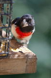 Rose-breasted Grosbeak an der Zufuhr Stockfoto