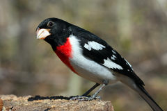 Rose-breasted Grosbeak male Royalty Free Stock Photography
