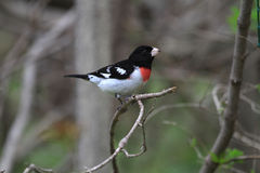 Rose-breasted Grosbeak male Stock Photos