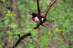 Rose-breasted Grosbeak male Stock Images