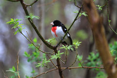 Rose-breasted Grosbeak male Royalty Free Stock Photos