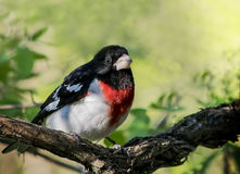 Rose Breasted Grosbeak. A male rose breasted grosbeak, Pheucticus ludovicianus, on a tree branch with green background Royalty Free Stock Photos